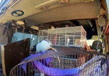 Woman found living with more than 300 pet rats in her van in upscale San Diego community