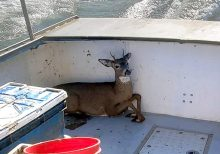Lobsterman rescues drowning young deer off Maine coast