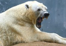 Russian polar bear spray-painted with 'T-34' sparks outrage from wildlife experts