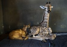 Abandoned baby giraffe in South Africa, who pics went viral after befriending dog, dies