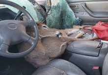Deer killed in Georgia after crashing through driver's windshield: 'He tried to hitch a ride'