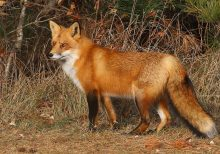 Man's instructions for daughter about feeding a wild fox delight Twitter