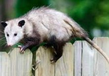 North Carolina town ends New Year's Eve possum drop after yearslong battle