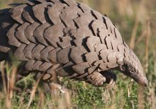 Chinese scientists say a scaly anteater could be coronavirus host: report