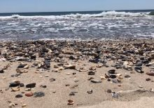 Seashells pile up on North Carolina beaches as coronavirus keeps tourists away