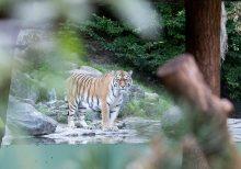 Siberian tiger kills Swiss zookeeper in enclosure as visitors watch