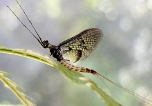 German Entomological Institute names Danish mayfly Insect of the Year