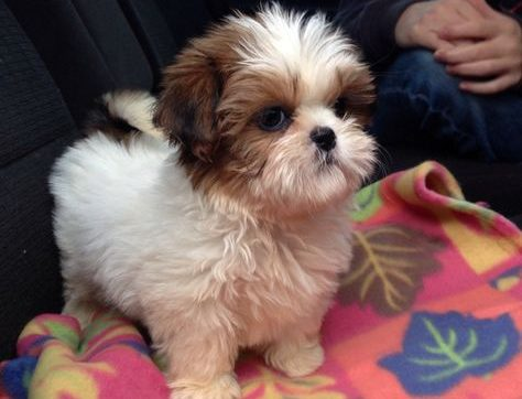 0d1c28ac244eb3f40320c63aa2e3cf6f-cutest-puppy-ever-cutest-dogs