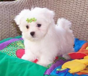Maltese-puppies-4