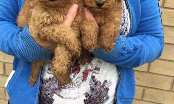 Toy_Poodle1