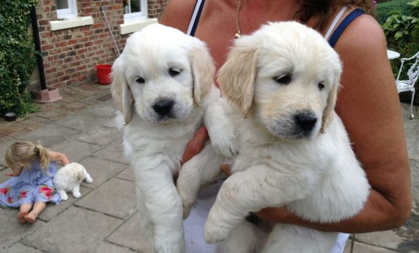 kc-registered-golden-retriever-puppies-due-55f87f3e7ce1d
